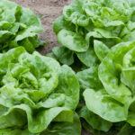 Lettuce – Butterhead