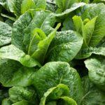 Lettuce – Romaine