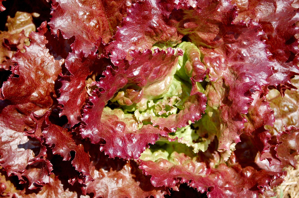 Red Leaf Lettuce - Certified Organic
